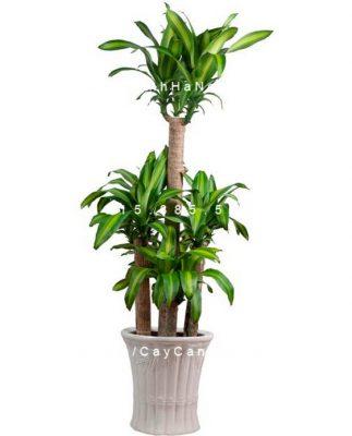 don-cat-khi-tai-loc-cung-cay-phat-loc-phat-tai Cây phát tài-loài cây mang đến sự an lành