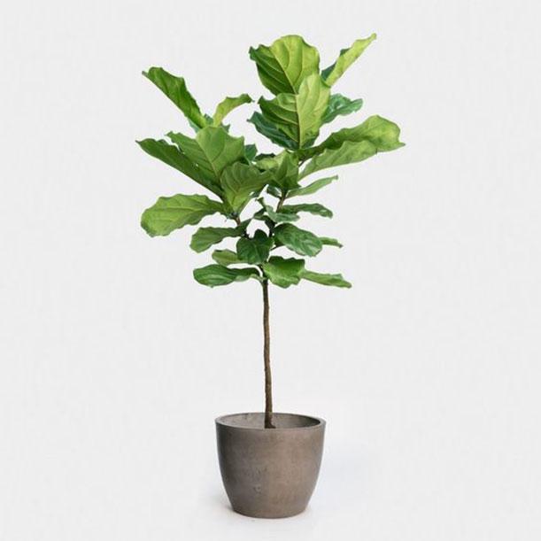 cay-bang-singapore-1 Cây Bàng Singapore- loài cây mang đến của cải