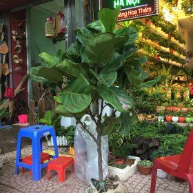 Cây Bàng Singapore- loài cây mang đến của cải-hình 4