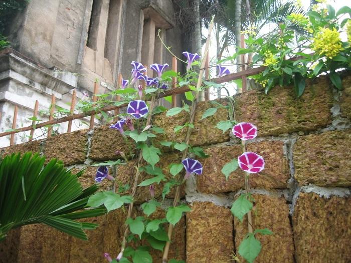 cay-day-leo-gian-hinh-2 Cây dây leo giàn-loài cây làm đẹp thêm cho ngôi nhà của bạn