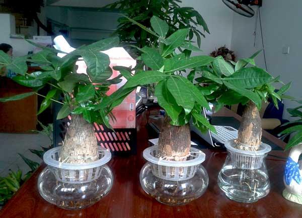 cay-de-ban-1-1 Cây để bàn- Loài cây mang lại sự thư giãn