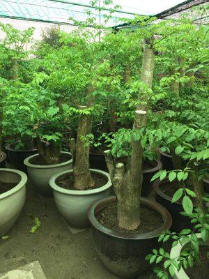 Cây hạnh phúc – cây mang lại sự hạnh phúc cho mọi người hình 2