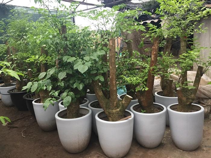 cay-hanh-phuc-hinh-2 Cây hạnh phúc – cây mang lại sự hạnh phúc cho mọi người