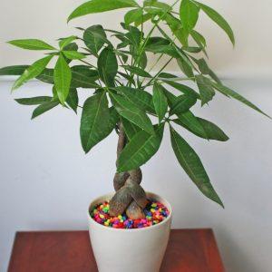 Cây kim ngân- Loài cây mang sự may mắn cho mọi người
