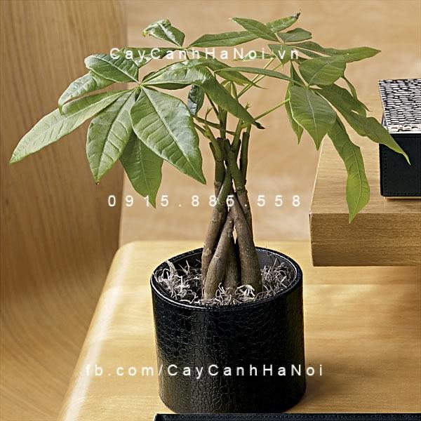 cay-kim-ngan-hinh-2 Cây kim ngân- Loài cây mang sự may mắn cho mọi người