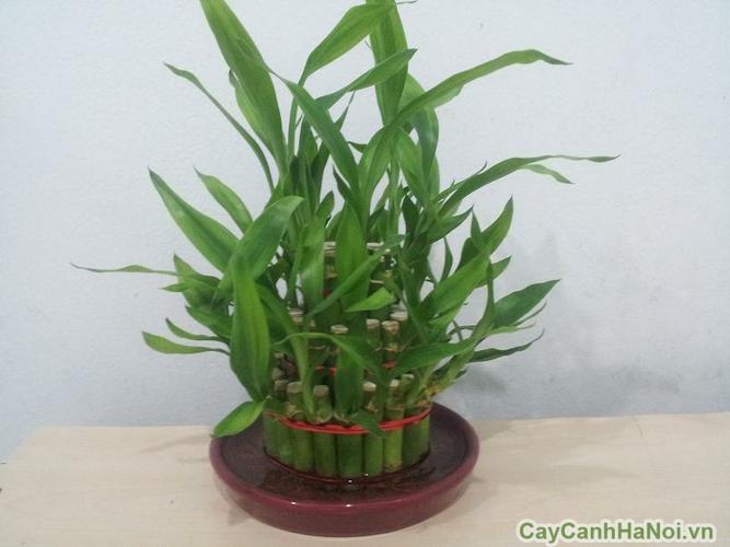Cây-phát-lộc1 Cây Phát Lộc-loài cây của sự thành công,may mắn và tiền tài.