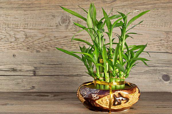 Cây phát tài-loài cây đem lại sự thuận lợi cho gia chủ hình 1