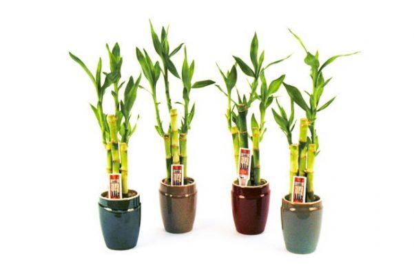 Cây phát tài-loài cây đem lại sự thuận lợi cho gia chủ hình 3