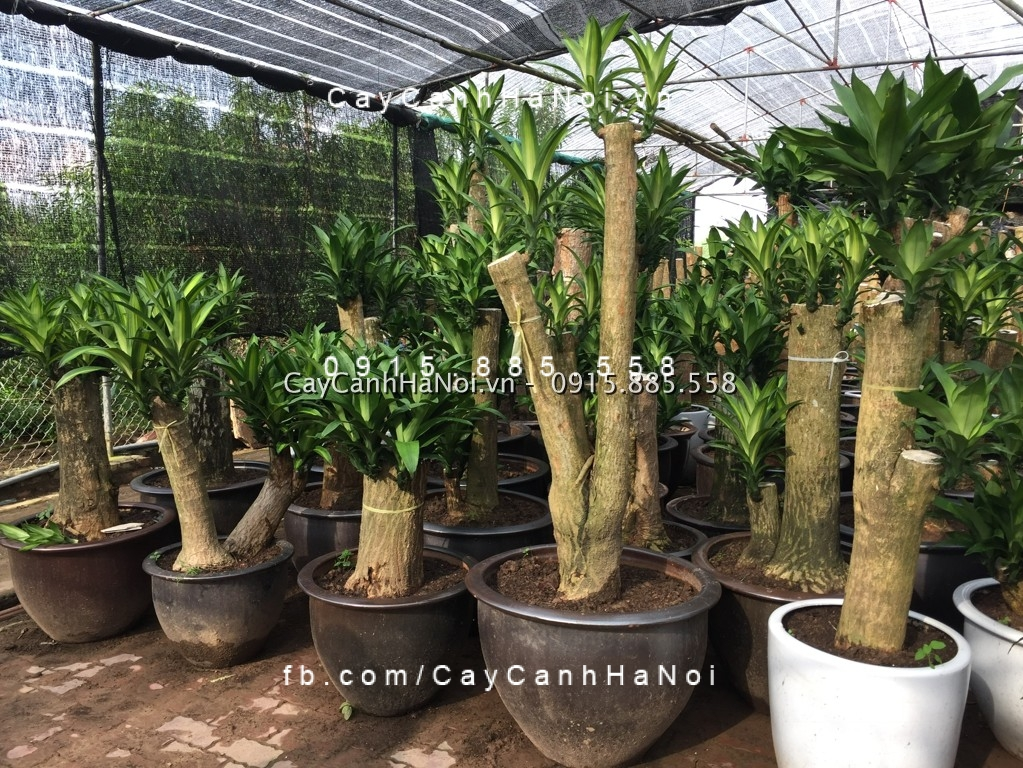 cay-thiet-moc-lan-cay-phat-tai-42 Cây thiết mộc lan-loài cây đem lại tiền tài cho mọi người
