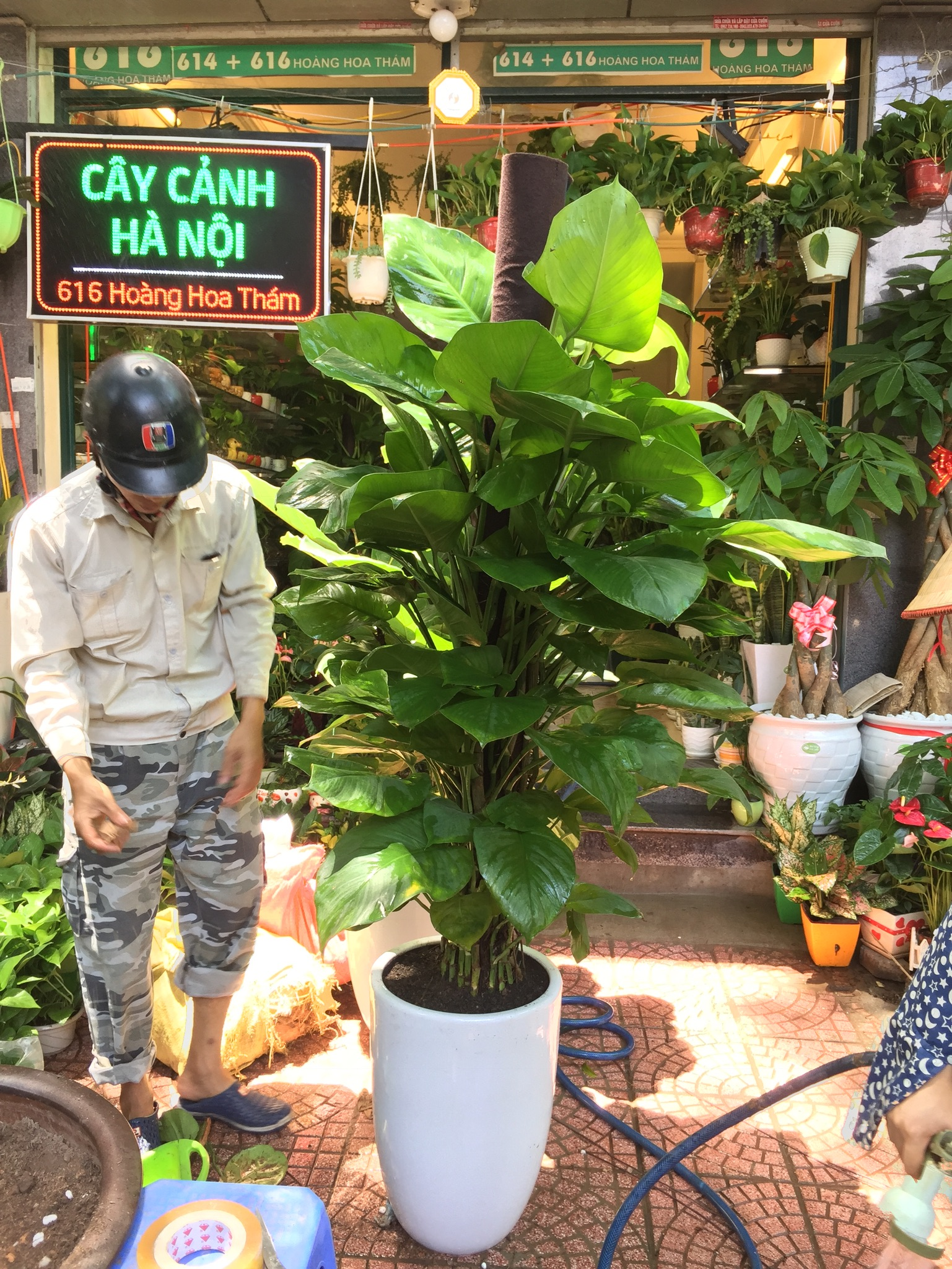 cay-van-nien-thanh-1 Cây Vạn Niên Thanh- loài cây cát tường