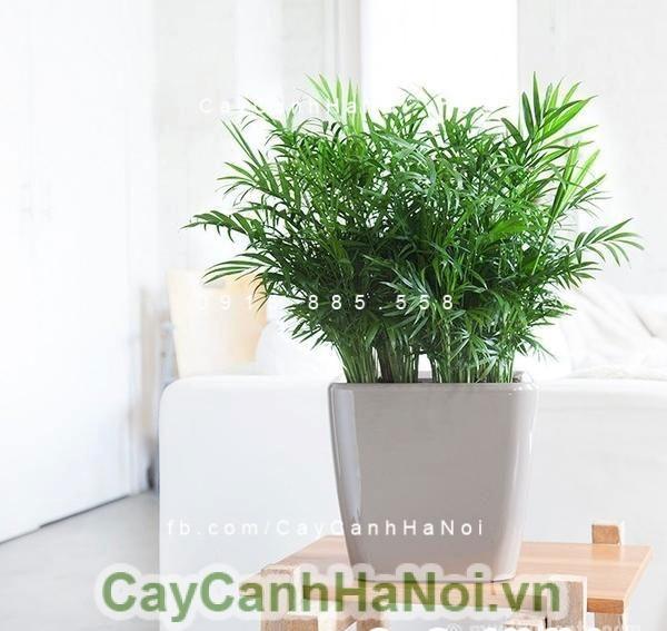 cay-van-phong-1 Cây văn phòng-loại cây mang lại sự thư giãn