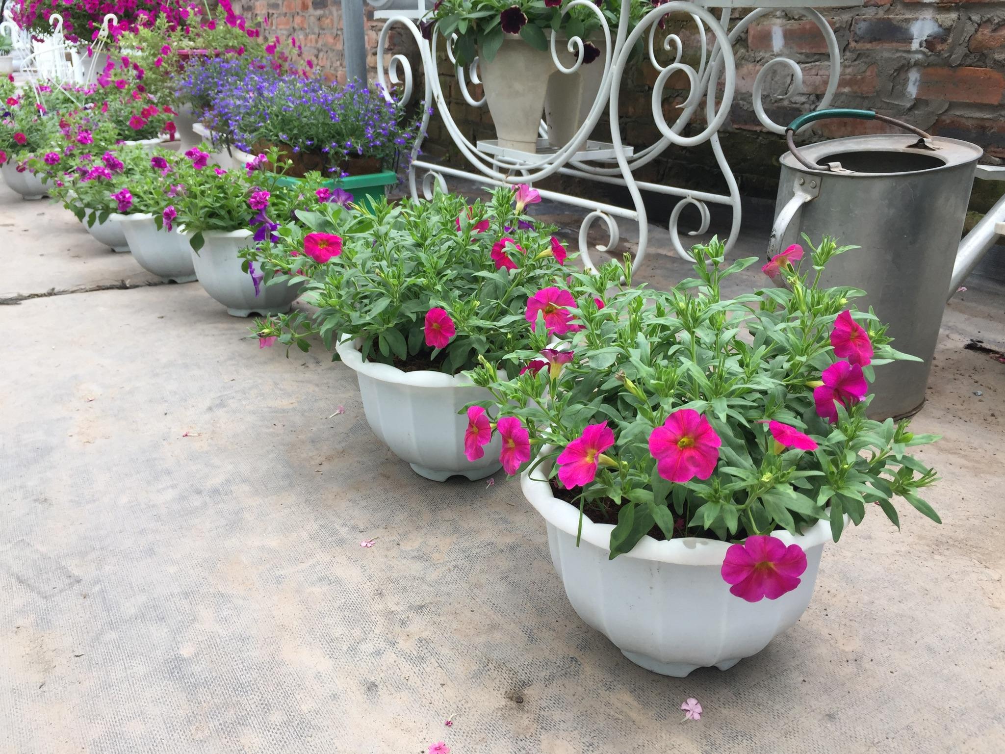 da-yen-thao-1 Kĩ thuật chăm sóc cây hoa dạ yến thảo