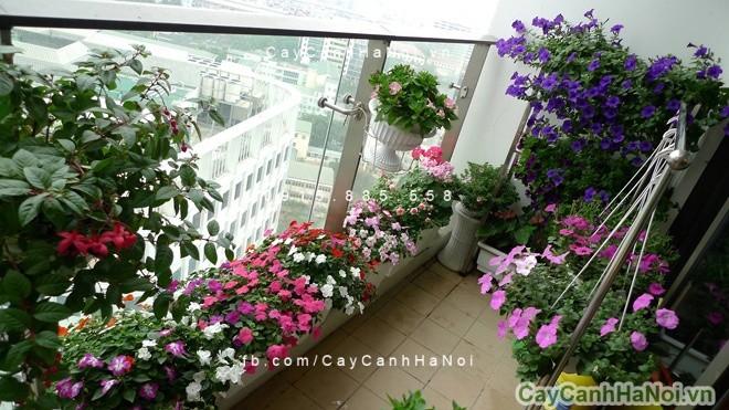 hoa-ban-cong-2 Hoa ban công-loài hoa tuyệt vời cho những ngày hè