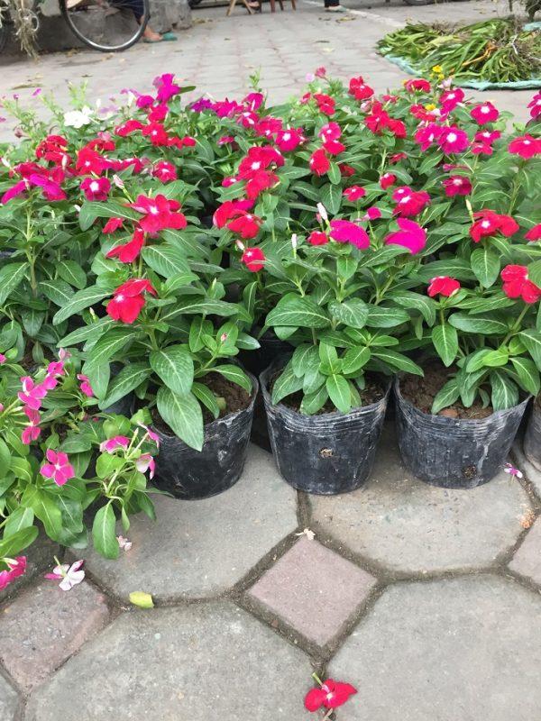 Hoa dừa cạn-loài hoa mang đến sự thành công cho mọi người hình 1