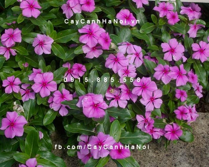 hoa-dua-can-hinh-2 Hoa dừa cạn-loài hoa mang đến sự thành công cho mọi người