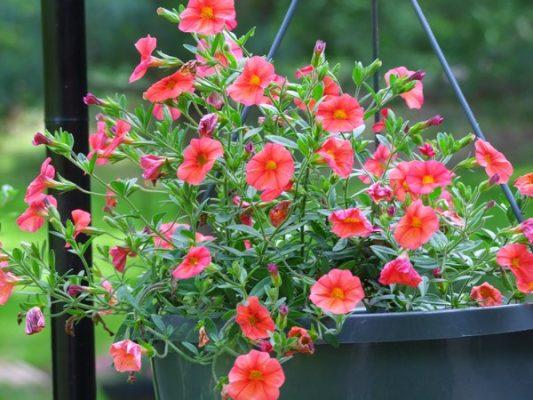 Hoa Triệu Chuông- loài hoa của thanh xuân mang đầy sức sống hình 2