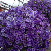 Hoa Triệu Chuông- loài hoa của thanh xuân mang đầy sức sống hình 3